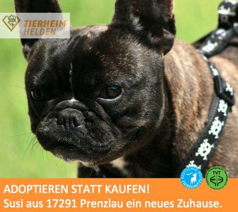 franz sisches bulldoggenm dchen im tierheim prenzlau sucht ein zuhause http www. Black Bedroom Furniture Sets. Home Design Ideas