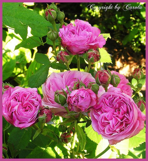Louise Odier old historic rose with wonderful scent