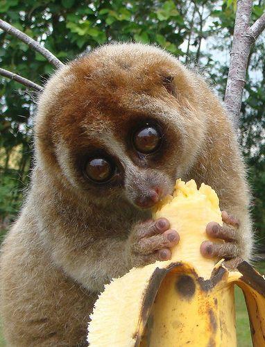 Slow Loris eating a banana