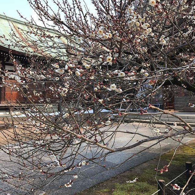 【nakaitaxi_kyoto】さんのInstagramをピンしています。 《中井タクシーの京都観光情報🚕 北野天満宮の白梅、そろそろ見頃‼️ #Kyoto #Japan #Shrine #Temple #京都 #社寺 #紅葉 #桜》