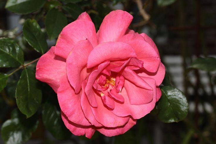 Rosa Salvaje, Flor, Rosa Y Rojo, Dulce, Fragante