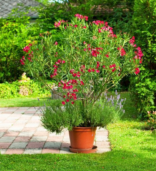 76 besten oleander bilder auf pinterest nerium garten. Black Bedroom Furniture Sets. Home Design Ideas