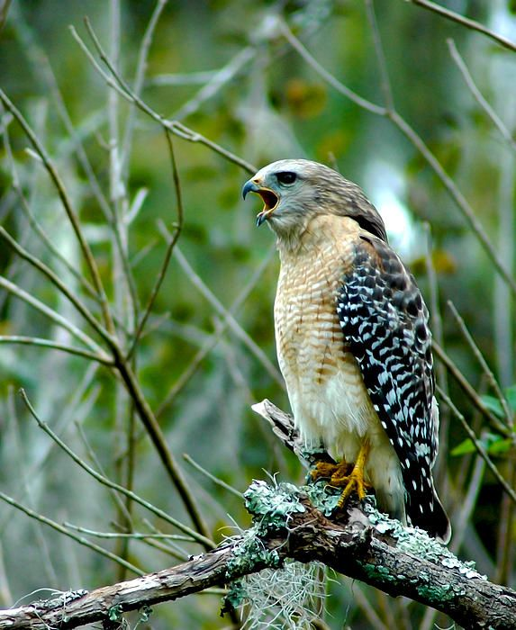 Red shouldered hawk calling at Lettuce Lake Park in Tampa, Florida.