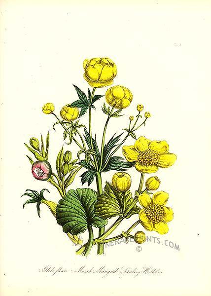 1000+ images about Botanical Prints on Pinterest ...