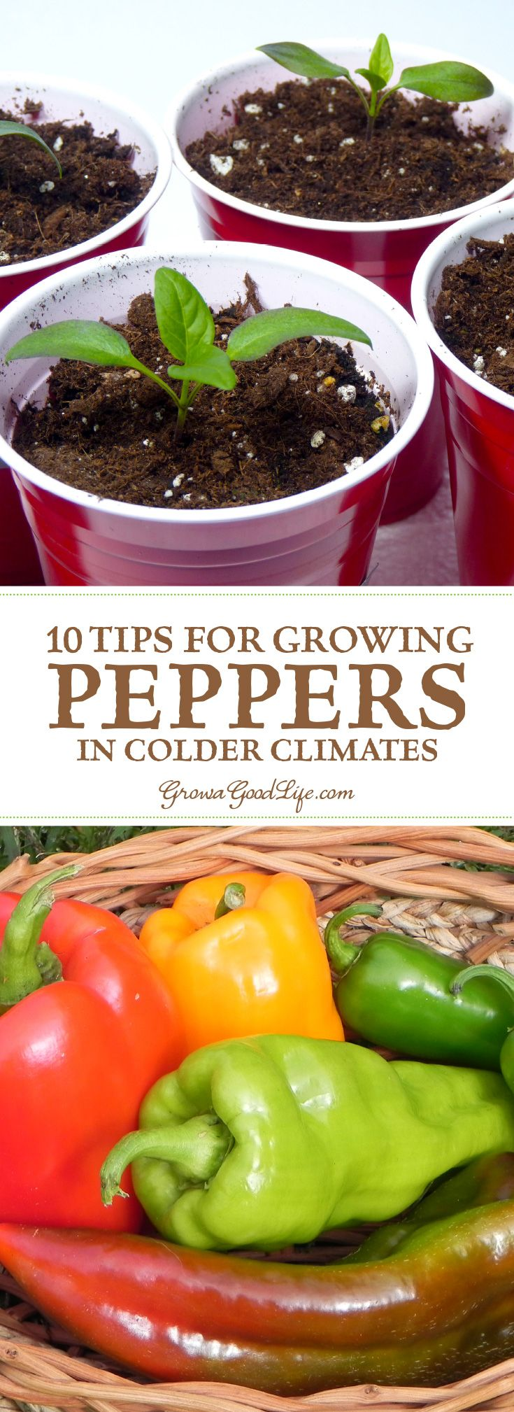 Growing peppers is possible even if you are in cooler climates. The key is to select varieties that are adapted to colder temperatures with early maturity dates, so they grow and ripen before the first fall frosts kills the plant.
