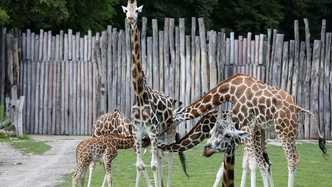 Drei fremde Jungtiere stürmen die Zitzen dieser Giraffen-Mama. Das eigene, der sechs Wochen alte Geluk, säugt vorne links