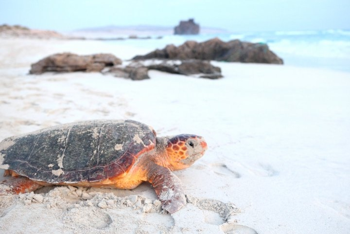 This turtle was found on a beach at the island Boa Vista, Cape Verde
