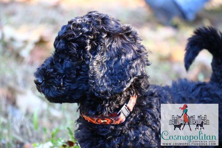 Black Velvet Standard Goldendoodle Puppy www.cosmopolitandogs.com www.facebook.com/cosmodogs