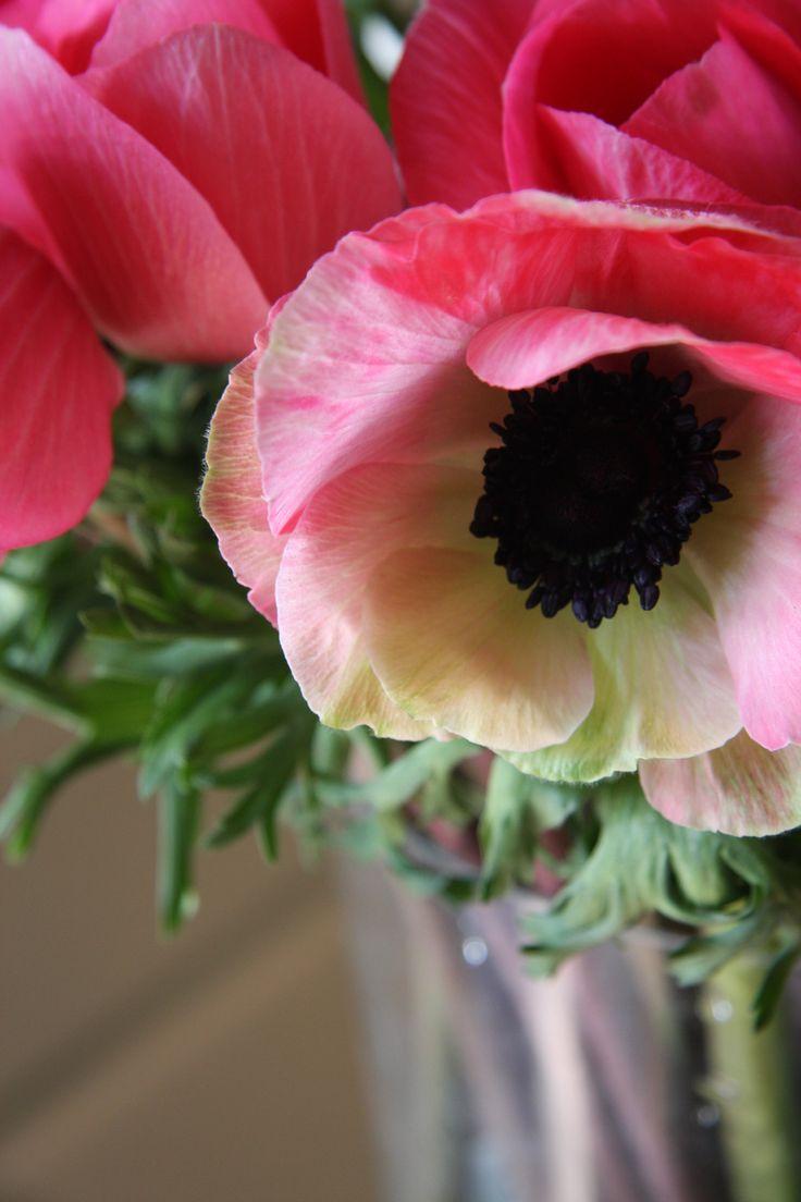 die besten 25 anemonen pflanzen ideen auf pinterest. Black Bedroom Furniture Sets. Home Design Ideas
