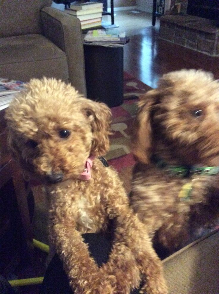 Introducing The Poodle Pair #dogs #pet adoption