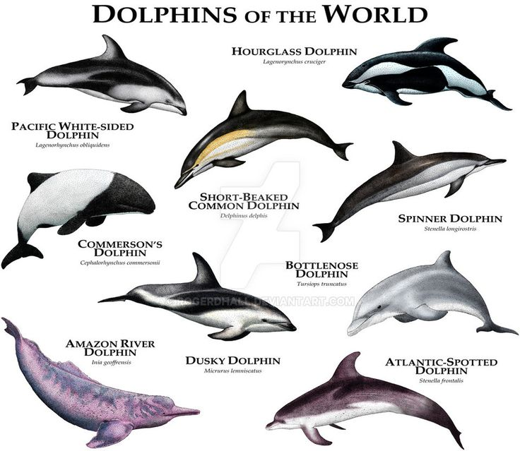 Fine art illustration of various species of the world's dolphins
