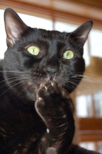 Photo of black Bengal cat Sirius Black