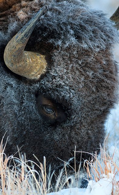 The bison....what a magnificent creature. Strange in form and yet fascinating.