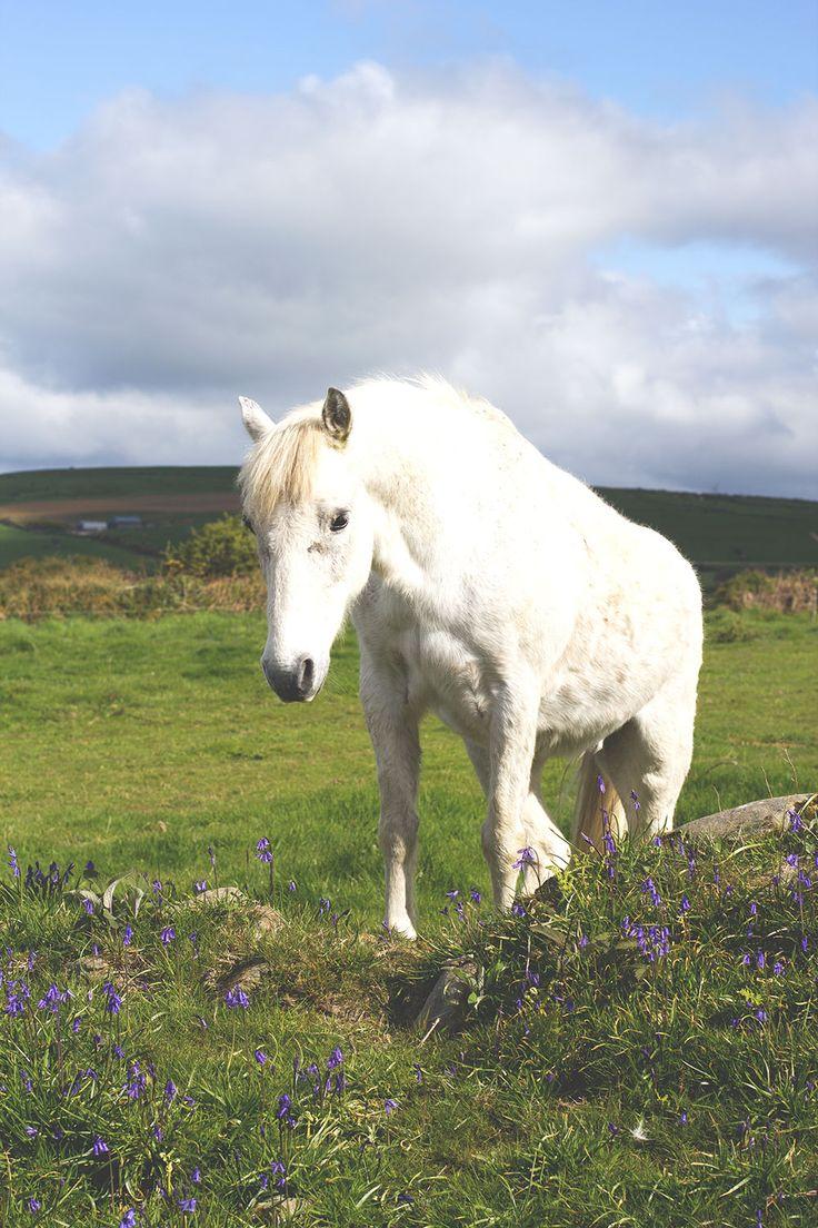 Weißes Pony (oder Einhorn) in einem alten Ringfort auf einer Dairy Farm im County Cork -- Irland-Rundreise mit Kerrygold, Bord Bia und Tourism Ireland: Von der Milchfarm im County Cork bis in die Cheddar-Fabrik