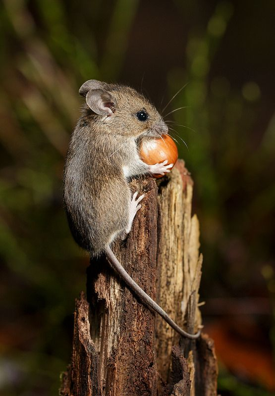 Different acorns, different journeys? A wood mouse gathering a hazelnut for winter food.