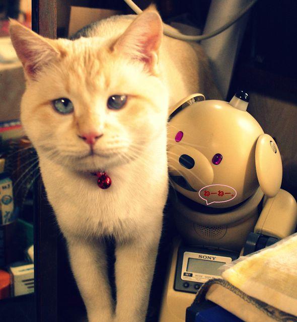 猫が来た 福が来た: フクにゃん アイボ aibo 《ラッテ》 といっしょに。