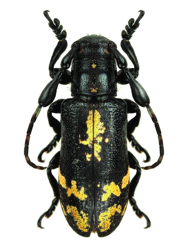Clavidesmus metallicus