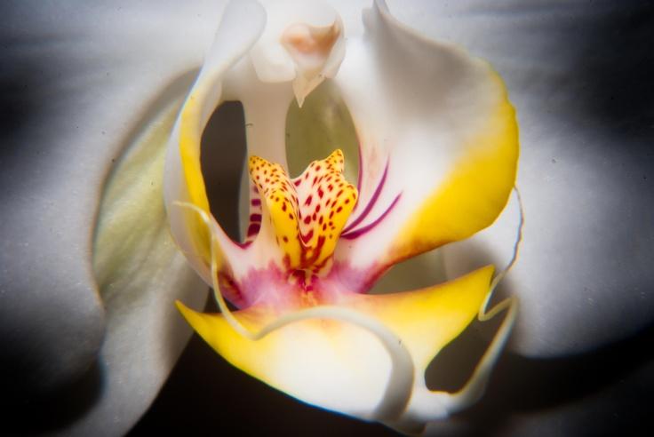 Orquid #flower #orquid #white #nature #yellow #beautiful #phalaenopsis