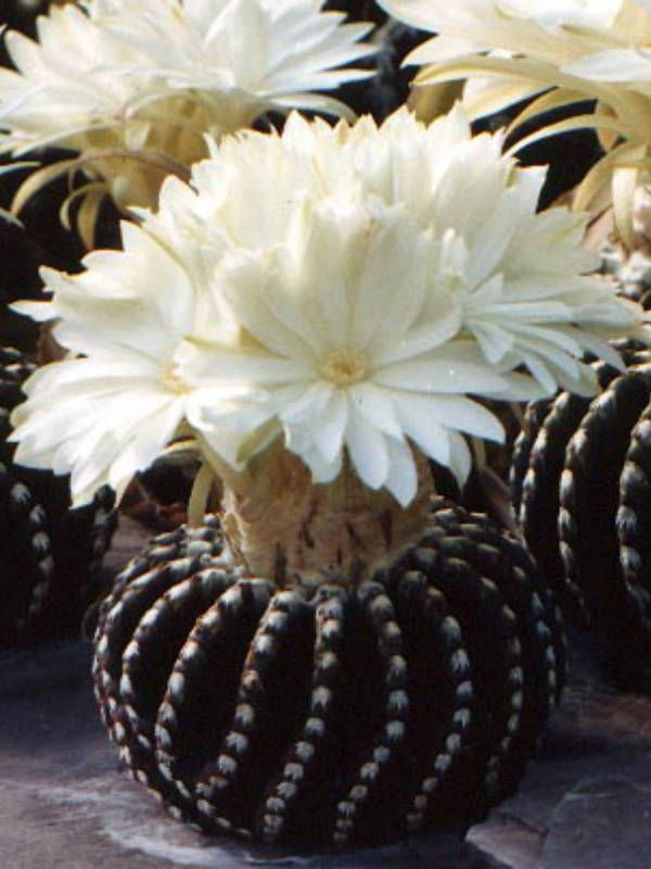 Discocactus horstii → Plant characteristics and more photos at: http://www.worldofsucculents.com/?p=4644