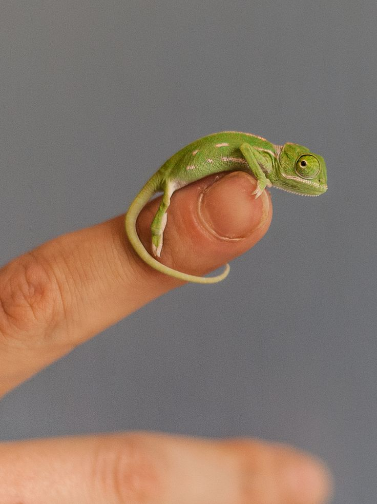 These Baby Chameleons Will Provide Your Daily Dose Of Squee http://www.huffingtonpost.com/2015/03/12/baby-chameleons-taronga-zoo_n_6855770.html