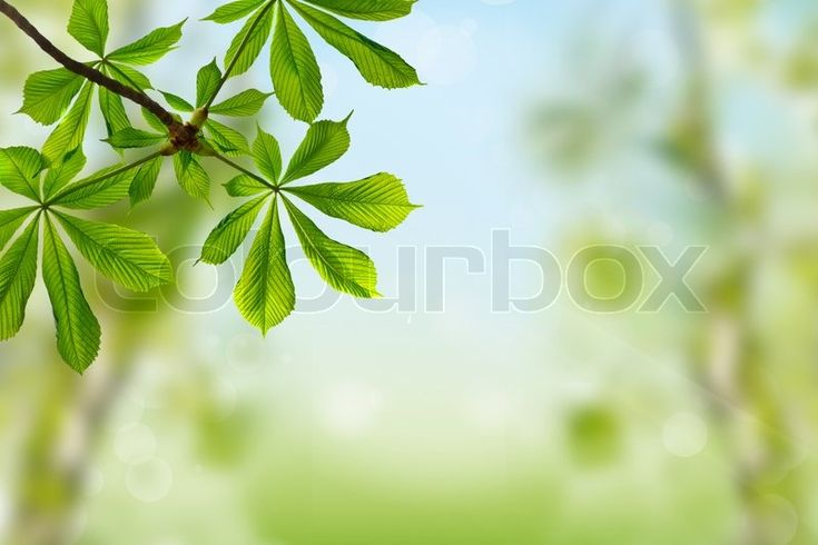 Spring background with green leaves of chestnut tree | Stock Photo | Colourbox on Colourbox