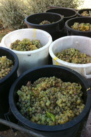 harvest time for Chardonnay grapes Vendemmia dello Chardonnay