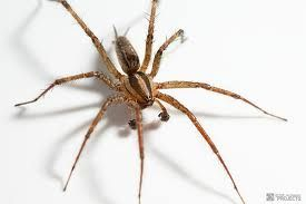 Health & Fitness: Hobo Spider Bite Symptoms