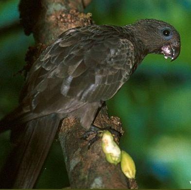 Seychelles Parrot   World Parrot Trust