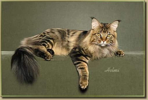 Maine Coon CatsWww Mainecoontail Com, Cat Beautiful, The Maine, Cat Mainecoon Forestcat, Maine Coon Cats, Cats I, Beautiful Maine, Maine Coon Kittens, Animal