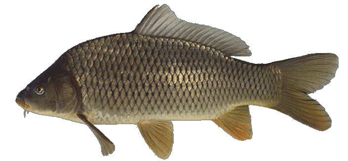 Boerenkarper is grijs van kleur. Gevangen in een van de drie visvijvers op camping Château le Verdoyer bij Champs Romain in de Dordogne te Frankrijk in mei 2016. Drijvend vissen met als aas een korstje brood.