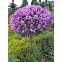 sering op stam, heerlijk geurend boom ook voor in de kleinere tuin
