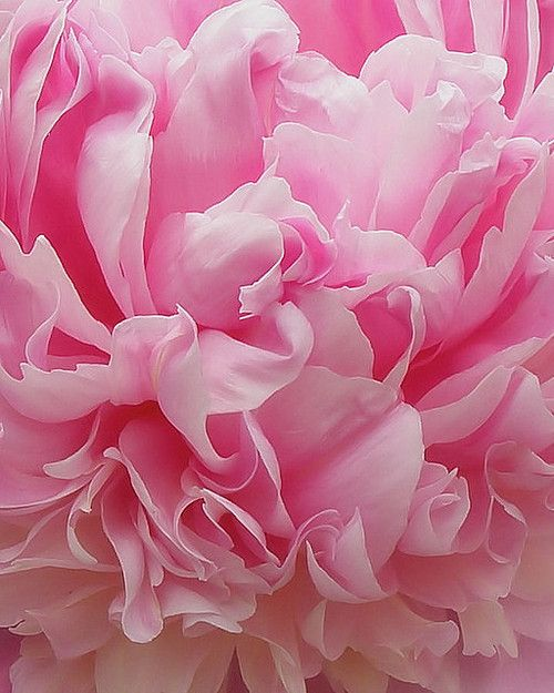 peony. extreme close up