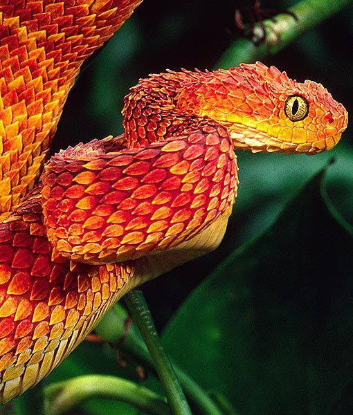 AFRICAN BUSH VIPER   Family: Viperidae  Habitat: Remote rainforest regions  Fun Fact: These vipers usually ambush their prey from a hanging position.