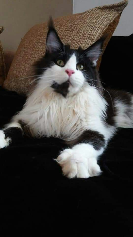 Coloriage Chat Maine Coon.Available Big Boy As Pet Benjamin Altyn Star Born 25 04 2018