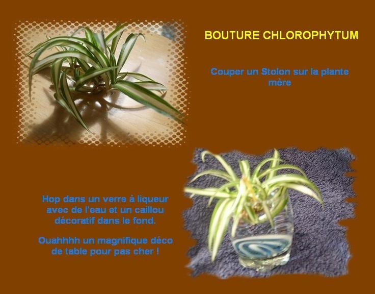 Bouture de chlorophytum ou Phalangère....facile !