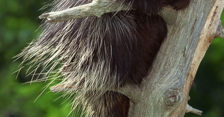Como repelir um porco espinho. Porcos-espinhos são os maiores roedores do mundo. Eles têm cerca de 30 mil espinhos afiados ao longo de seu corpo para se defender de predadores e pesam entre 4,5 e 9 quilos. Têm visão ruim, mas o olfato e a audição são bons. Por seus dentes estarem sempre crescendo, esses animais estão sempre roendo algo, prejudicando plantas e a vegetação, ...
