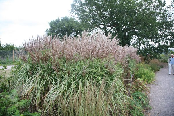 Miscanthus sinensis 'Malepartus' - A statuesque grass that will extend the season of interest in a mixed border, this has fine, arching leaves with a distinctive white stripe down the centre. Its flowers are spectacular; reddish brown, silky feathers that rise upwards from their stems and glow in the evening light. This grass is quick to establish and turns a beautiful reddish-brown in autumn. Use it as a feature plant in a mixed or perennial border.