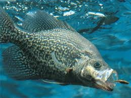Often times, the early spring is not considered to be a great time to go fishing for crappie, but if you know where to fish and how to approach the crappie, I bet you will have some success. Today we are going to look at the top 3 locations to fish for crappie in the early spring months; canals, coves, and creeks.