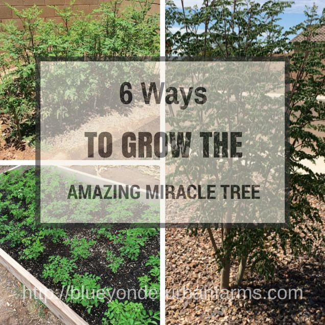 6 Ways To Grow The Amazing Miracle Tree | Blue Yonder Urban Farms | http://blueyonderurbanfarms.com/5400/6-ways-to-grow-the-amazing-miracle-tree