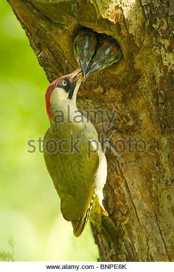 green woodpecker feeding her young - Stock Image