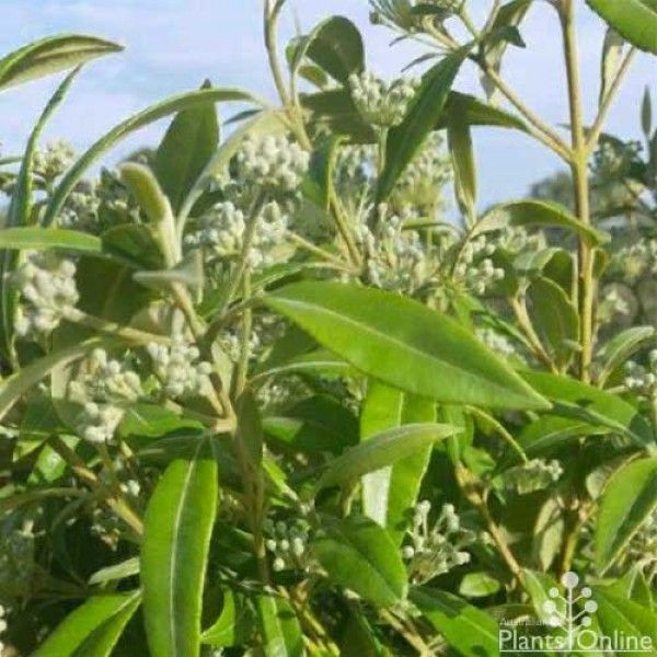 Backhousia citriodora - lemon scented myrtle Dual purpose edible and hedge
