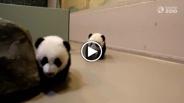 Hanno 4 mesi i duecuccioli di panda dello zoo di Toronto che nelle ultime ore sono impegnati in una nuova impresa: imparare a camminare. Un...