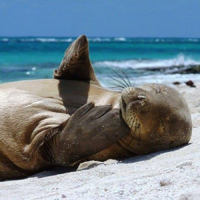 """***WARNING: This content contains a supercute marine mammal! """"...As visions of sugarplums danced in their heads"""": This sleepy #Hawaiian #monk #seal, photographed on a beach within the #Papahanaumokuakea #Marine National #Monument by NOAA's Mark Sully, gives a whole new meaning to """"Happy Christmas to all, and to all a good night!"""" Here are some facts you should know about the Hawaiian monk seal:  The monk seal is known in Hawaiian as Ilio-holo-i-ka-uaua, which means """"dog running in the rough…"""