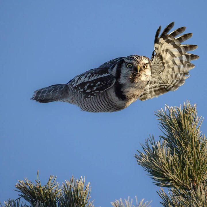 Owl hi! #torpedoowl