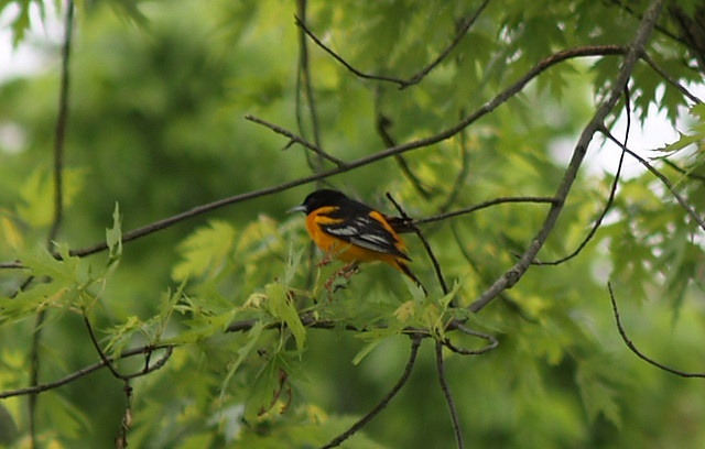 """Baltimore Oriole."" by Daniel Justes    ©2009 Daniel Justes - All Rights Reserved - Images and copy are copyrighted and may not be published, broadcast, copied, printed, reworked, rewritten or redistributed, as well as any other form of reproduction, w Get Cheap Baltimore Orioles Tickets Here and Save!  All Baltimore Orioles Tickets Have Been Reduced!  http://craigslisttickets.biz/ResultsEvent.aspx?event=Baltimore+Orioles=92"