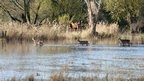Roe deer going through floods in Ringwood, Hampshire
