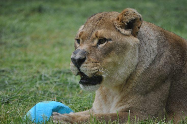 98 best #BLT, Baloo, Leo & Shere Khan (Bear, Lion, & Tiger ...
