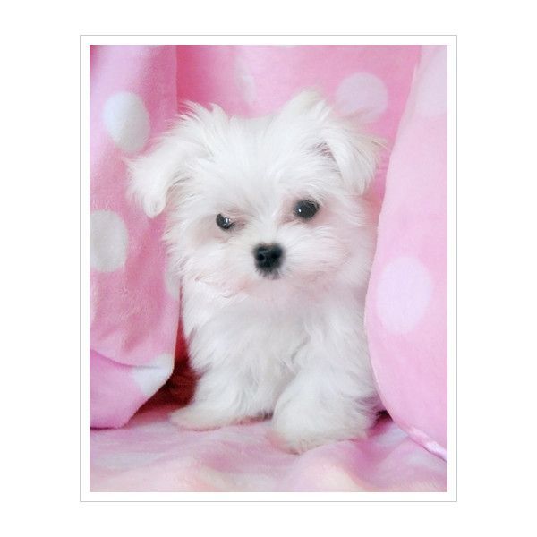 Teacup Maltese For Sale at TeaCups Puppies South Florida ❤ liked on Polyvore featuring dogs, pets, animals, other and puppies
