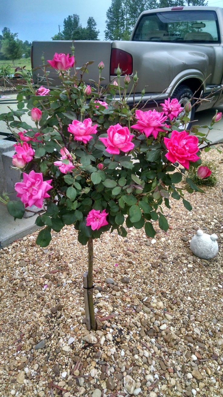 best 25 knockout rose tree ideas on pinterest beauty knockout