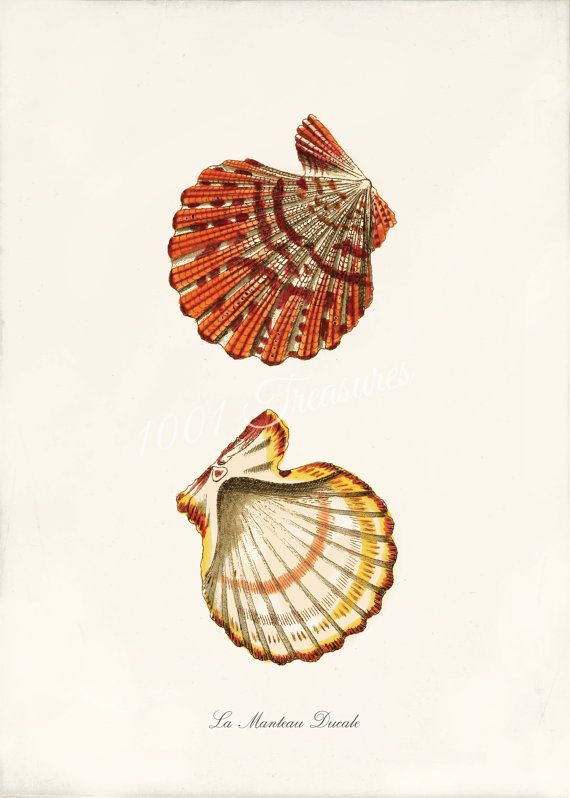 Beautiful Sea Shell Print - 5 x 7 - La Manteau Ducale